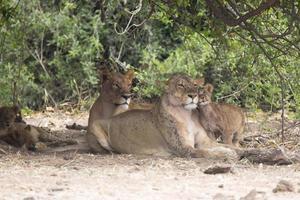 wilde erwachsene Löwin Mutter mit Jungen foto