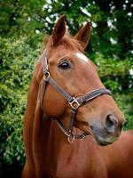 Pferdekopfschuss foto