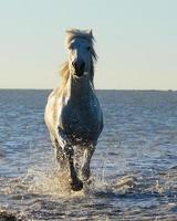 Camargue-Pferd bei Sonnenaufgang