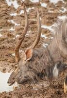 Nyala Stier trinkt am Wasserloch foto