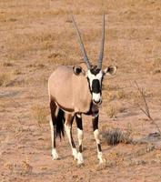 Gemsbok Antilope