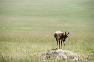 Topi-Antilope foto