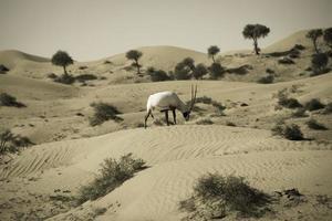 "Gemsbok Antilope ""Oryx"""