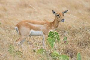 Schwarzbock Antilopen Kalb