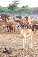 brauner männlicher Impala foto