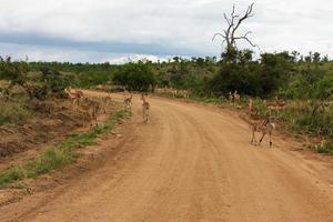 Impala Herde foto