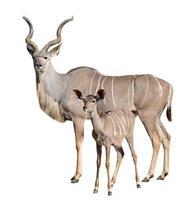 größeres Kudu foto