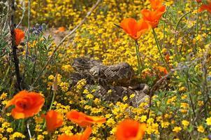 Mojave grüne Klapperschlange foto