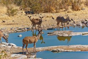 Kudu-Antilopen, die aus dem Wasserloch trinken foto