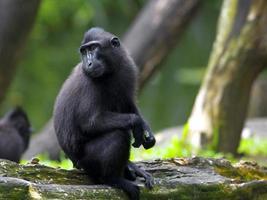 schwarzer Makaken mit Haube