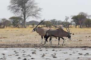 Oryx ist am Wasserloch in Nxai Pan Np foto