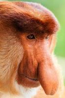 Gesicht eines jungen männlichen Nasenaffen foto