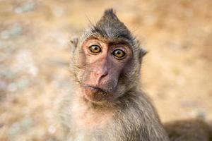 Porträt des Affen