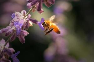 Honigbiene in Blüte foto