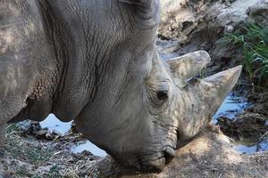großes afrikanisches Nashorn foto