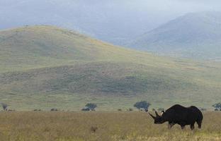 afrikanisches schwarzes Nashorn am frühen Morgen foto