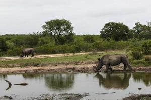 Nashorn foto