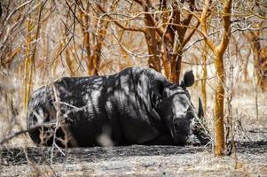 Nashorn in Afrika foto