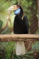 Nahaufnahme Kranzhornvogel