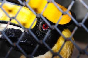 großer Nashornvogel (buceros bicornis) in Käfigen, Thailand foto