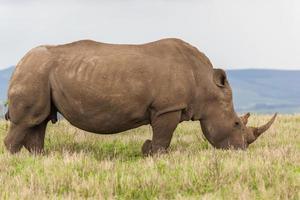 Nashorn männliche Tierwelt foto