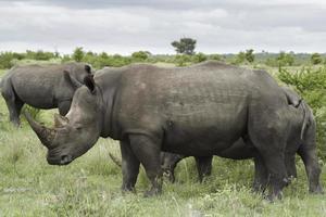 Nashorn Familienzeit foto