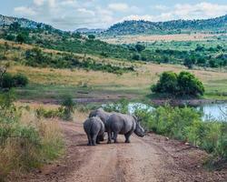Nashorn, Pilanesberg Nationalpark. Südafrika. 29. März 2015 foto
