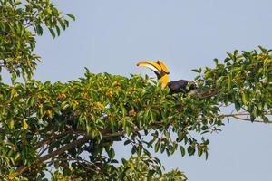 männlicher großer Nashornvogel (buceros bicornis)