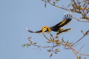 volle Flügel fliegen großen Nashornvogel