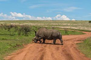 Nashorn, Pilanesberg Nationalpark. Südafrika. 7. Dezember 2014