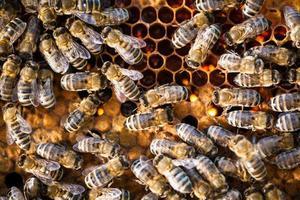 Makroaufnahme von Bienen, die auf einer Wabe schwärmen foto
