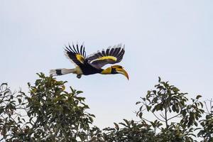 großer Nashornvogel (buceros bicornis) foto