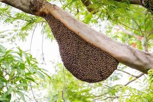 Schwarm von Honigbienen, die sich an einen Baum klammern foto