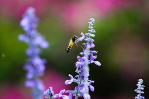 Honigbiene in freier Wildbahn foto