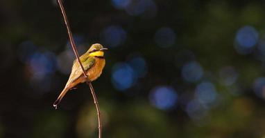 kleiner Bienenfresser Vogel foto