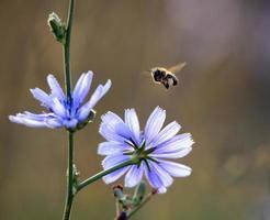 Honigbienenfliege foto