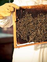 Imkerrahmen mit Bienen foto