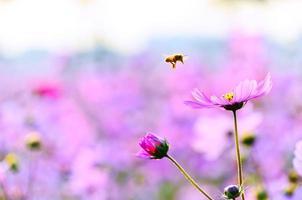 Honigbiene nähert sich einer Blume unter dem Sonnenuntergang. foto