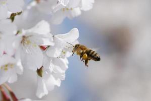 Honigbiene fliegt auf weiße Blumen zu foto
