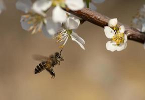 fliegende Biene foto