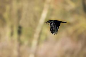 Krähe, Corvus Corone, fliegend mit Nistmaterial im Schnabel