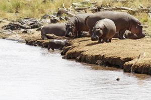 Massai Mara Flusspferde foto