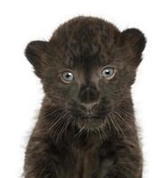 Nahaufnahme eines schwarzen Leopardenbabys, 3 Wochen alt, isoliert