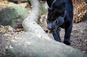 Leopard foto
