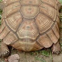 Sulcata-Schildkröte foto
