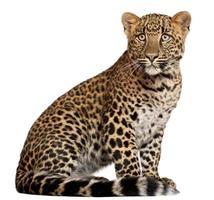 Leopard, Panthera Pardus, sechs Monate alt, sitzend, weißer Hintergrund.