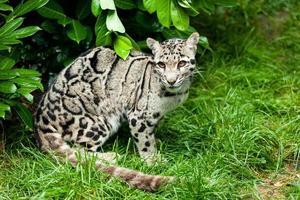 weiblicher bewölkter Leopard, der unter Busch sitzt