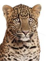 Nahaufnahme von Leopard, Panthera Pardus, 6 Monate alt