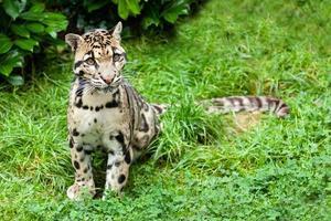 bewölkter Leopard, der nachdenklich auf Gras steht foto