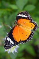 Leopard Florfliege Schmetterling foto